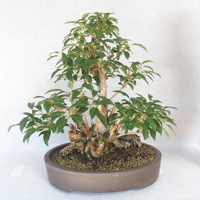 Bonsai im Freien - Forsythie - Forsythie - 2