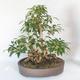 Bonsai im Freien - Forsythie - Forsythie - 2/5