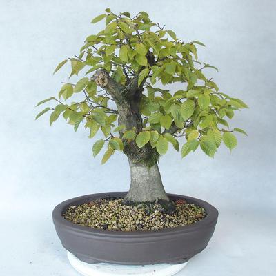 Bonsai im Freien - Hainbuche - Carpinus betulus - 2