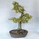 Bonsai im Freien - Hainbuche - Carpinus betulus - 2/5