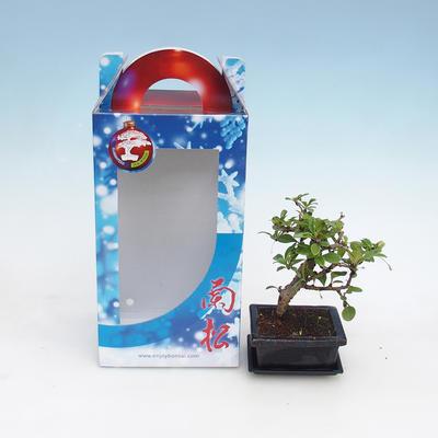 Zimmer Bonsai in einer Geschenkbox - 2