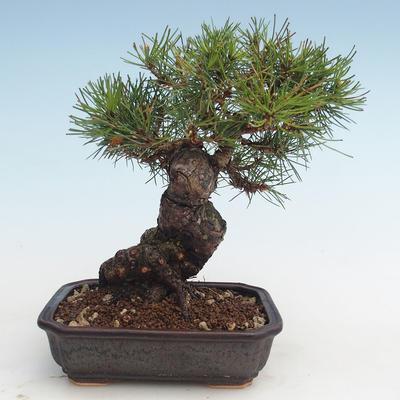 Pinus thunbergii - Thunberg Kiefer VB2020-572 - 2