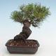 Pinus thunbergii - Thunberg Kiefer VB2020-572 - 2/5
