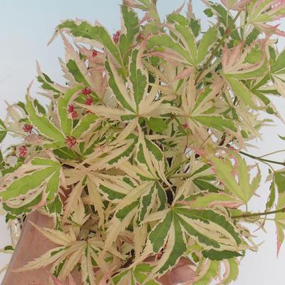 Bonsai im Freien - Acer palmatum Butterfly VB2020-693 - 2