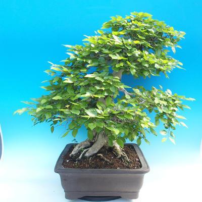 Outdoor-Bonsai -Carpinus CARPINOIDES - Koreanisch Hainbuche - 2