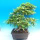 Outdoor-Bonsai -Carpinus CARPINOIDES - Koreanisch Hainbuche - 2/5