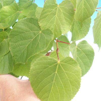 Outdoor-Bonsai - Kleinblättrige Limette - 2