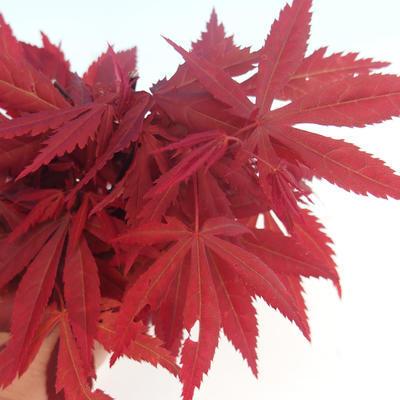Bonsai im Freien - Acer-Palme. Atropurpureum - Japanisches Ahornrot - 2
