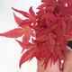 Outdoor-Bonsai - Ahorn palmatum DESHOJO - Maple dlanitolistý - 2/3