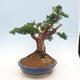Bonsai im Freien - Juniperus chinensis - chinesischer Wacholder - 2/6