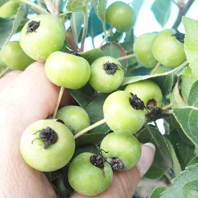 Outdoor-Bonsai -Malus Halliana - fruited Apfel - 2