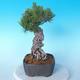 Pinus thunbergii - Thunbergkiefer - 2/5