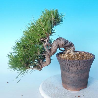 Pinus thunbergii - Thunbergkiefer - 2