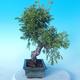 Outdoor Bonsai - Juniperus chinensis ITOIGAWA - Chinesischer Wacholder - 2/6