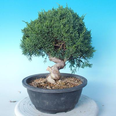 Outdoor Bonsai - Juniperus chinensis ITOIGAWA - Chinesischer Wacholder - 2