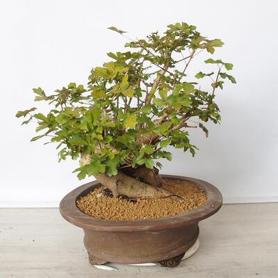 Pinus thunbergii - Kiefer thunbergova - 2