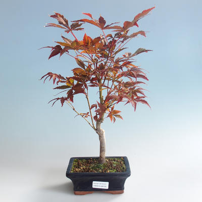 Bonsai im Freien - Acer-Palme. Atropurpureum-Japanisches Ahornrot 408-VB2019-26722 - 2