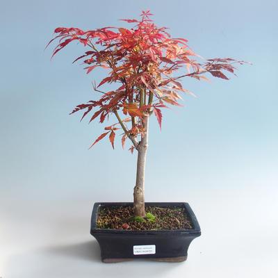 Bonsai im Freien - Acer-Palme. Atropurpureum-Japanisches Ahornrot 408-VB2019-26725 - 2