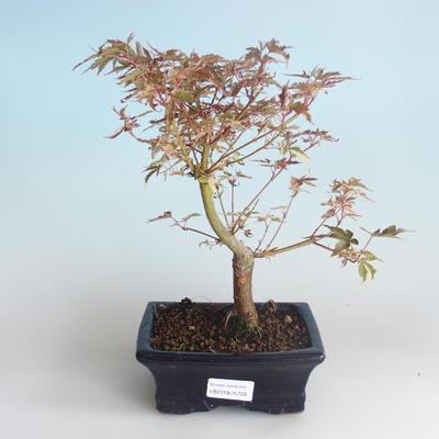 Outdoor Bonsai - Japanischer Ahorn Acer palmatum Schmetterling 408-VB2019-26728 - 2