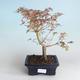 Outdoor Bonsai - Japanischer Ahorn Acer palmatum Schmetterling 408-VB2019-26728 - 2/2