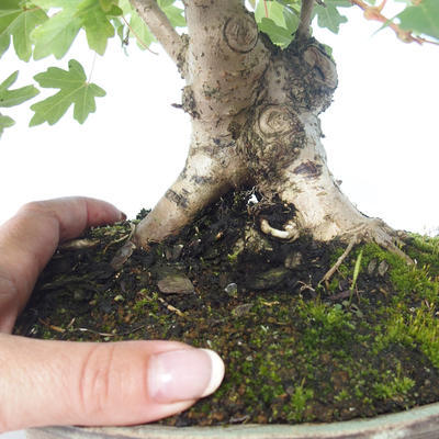 Outdoor Bonsai-Acer campestre-Ahorn Babyb 408-VB2019-26807 - 2