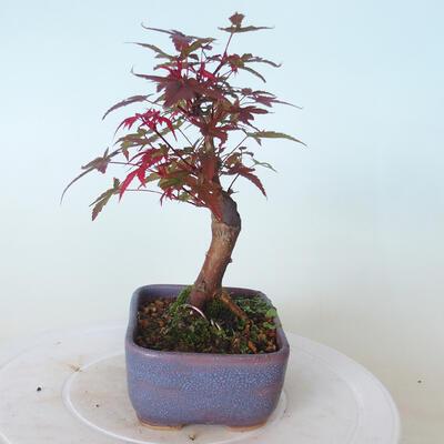 Outdoor-Bonsai - Ahorn palmatum DESHOJO - Ahorn palmate - 2