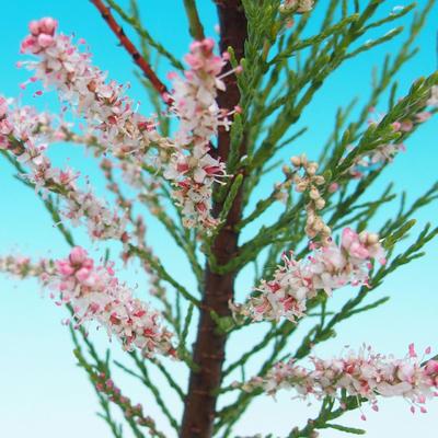 Bonsai im Freien - Tamaris parviflora Tamarisk 408-VB2019-26803, kleinblättrig - 2