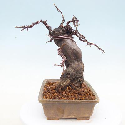 Bonsai im Freien - Pseudocydonia sinensis - Chinesische Quitte - 2