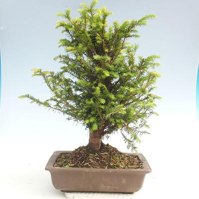 Bonsai im Freien - Taxus bacata - Rote Eibe - 2