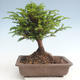 Bonsai im Freien - Taxus bacata - Rote Eibe - 2/3