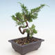 Bonsai im Freien - Juniperus chinensis Itoigawa-chinesischer Wacholder - 2/3