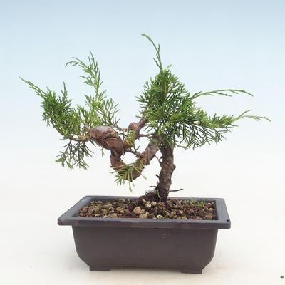 Bonsai im Freien - Juniperus chinensis Itoigawa-chinesischer Wacholder - 2