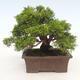 Bonsai im Freien - Juniperus chinensis Itoigawa-chinesischer Wacholder - 2/6