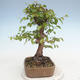 Bonsai im Freien - Carpinus CARPINOIDES - Koreanische Hainbuche - 2/5