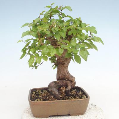Bonsai im Freien - Carpinus CARPINOIDES - Koreanische Hainbuche - 2