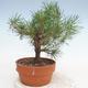 Bonsai im Freien - Pinus Sylvestris - Waldkiefer - 2/3