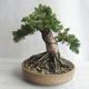 Bonsai im Freien - Juniperus chinensis - chinesischer Wacholder - 2/5