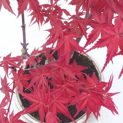 Outdoor Bonsai - Ahorn Palmatum DESHOJO - Ahorn Palmate - 2