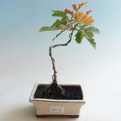 Bonsai-Quercus robur-Sommereiche im Freien - 2
