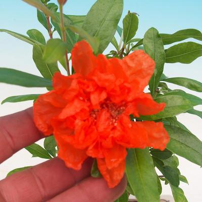 Zimmer Bonsai-PUNICA Granatum Nana-Granatapfel - 2