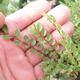 Outdoor-Bonsai - Ulmus parvifolia SAIGEN - Kleinblättrige Ulme - 2/5