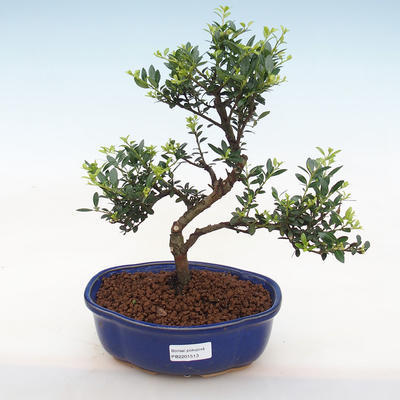 Indoor Bonsai - Ilex Crenata - Holly - 2
