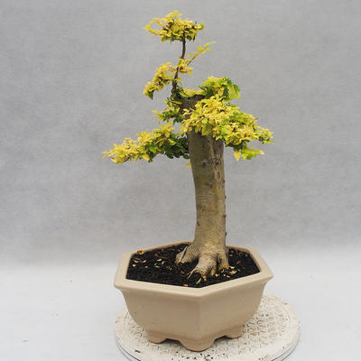 Indoor Bonsai -Ligustrum Aurea - Vogelschnabel - 2