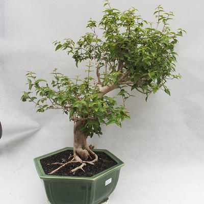 Indoor Bonsai - Australische Kirsche - Eugenia uniflora - 2