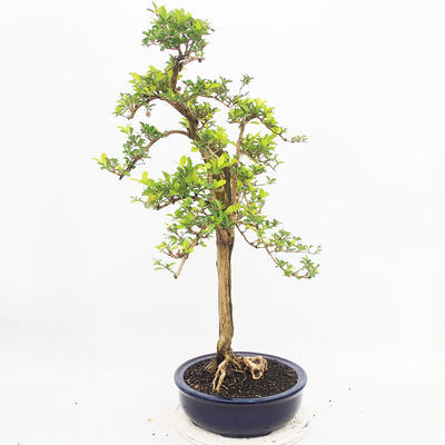 Indoor-Bonsai - Duranta erecta Aurea - 2