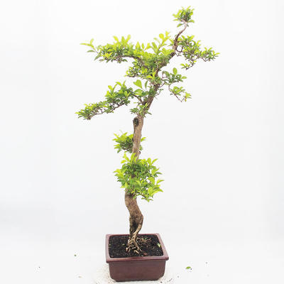Indoor-Bonsai - Duranta erecta Aurea - 2