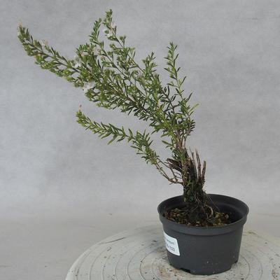 Bonsai im Freien - Berg Satureja - Satureja montana - 2