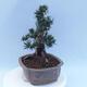 Bonsai im Freien - Pseudocydonia sinensis - Chinesische Quitte - 2/7