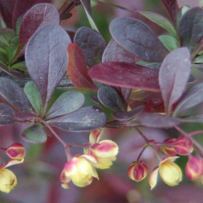 Bonsai im Freien - Berberis thunbergii Atropurpureum - Berberitze VB2020-271 - 2