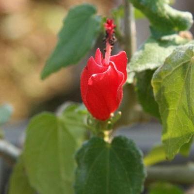 Indoor Bonsai - kleinblütiger Hibiskus PB22096 - 2